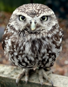 owl-stare